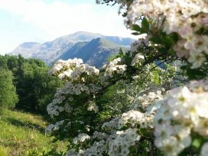 hawthorn up a mountain